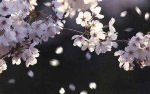 桜散ってますが、しあわせ舞う